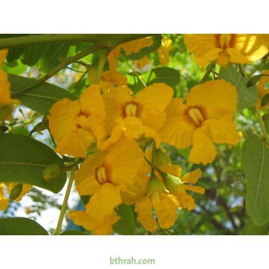 بذور شجرة الجاكراندا الصفراء تيبو - Tipuana tipu