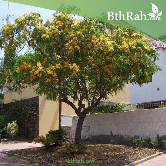 بذور شجرة ابو المكارم - Tipuana tipu