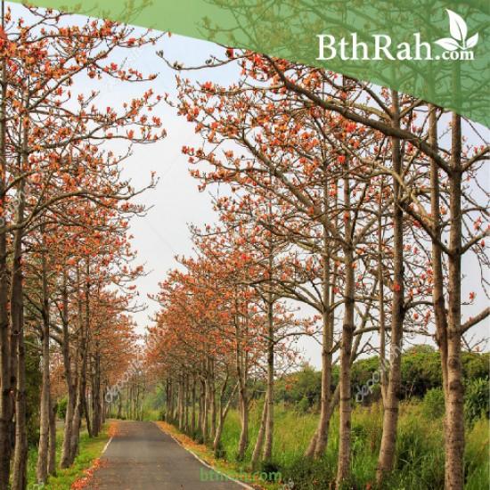 بذور شجرة البومباكس - Bombax ceiba
