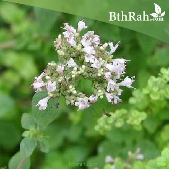 بذور نبتة البردقوش - Origanum majorana