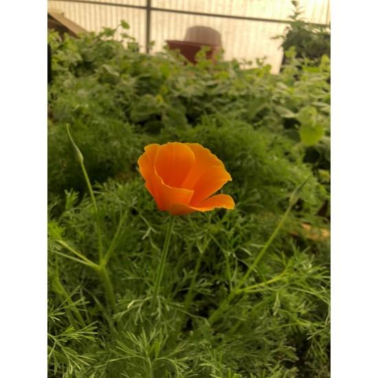 بذور زهرة كاليفورنيا ( Eschscholzia californica )