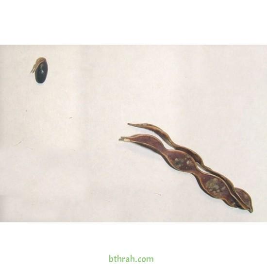 بذور اكاسيا ساليجنا - Acacia saligna