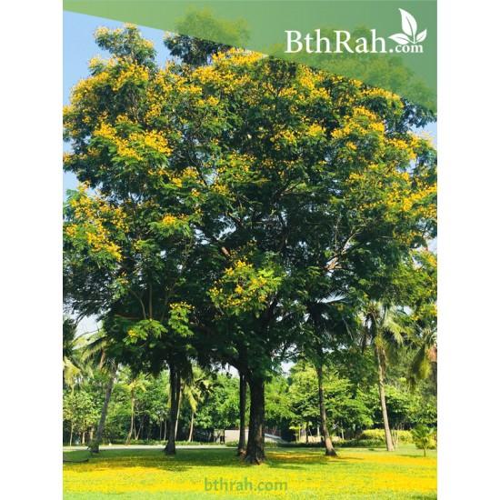 بذور شجرة البلتفورم-البونسيانا الصفراء- Peltophorum Pterocarpum