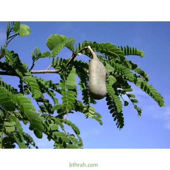 بذور تمر هندي ( Tamarindus indica )