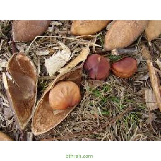 بذور البونجاميا - Derris Indica