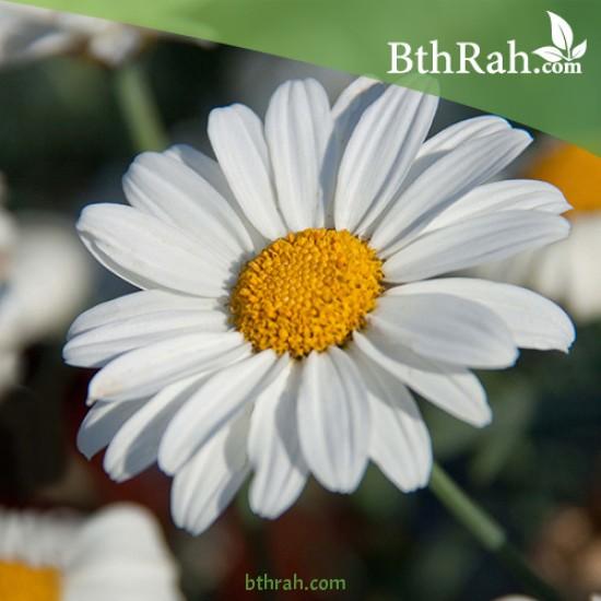 بذور زهور مارجريت (Argyranthemum frutescen)