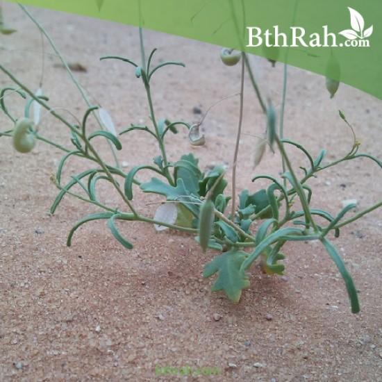 بذور القليقلان-Savignya Parviflora