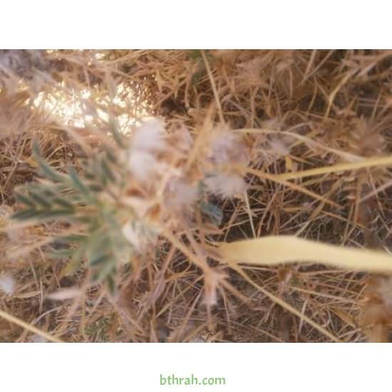 بذور القتاد (Astragalus Mollis)