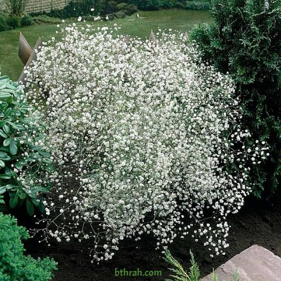 بذور الجيبسوفيلا - Gypsophila