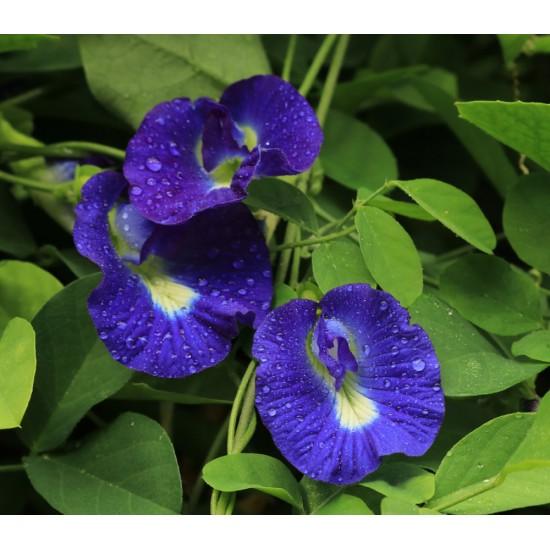 بذور متسلقة الشاي الأزرق - Clitoria ternatea