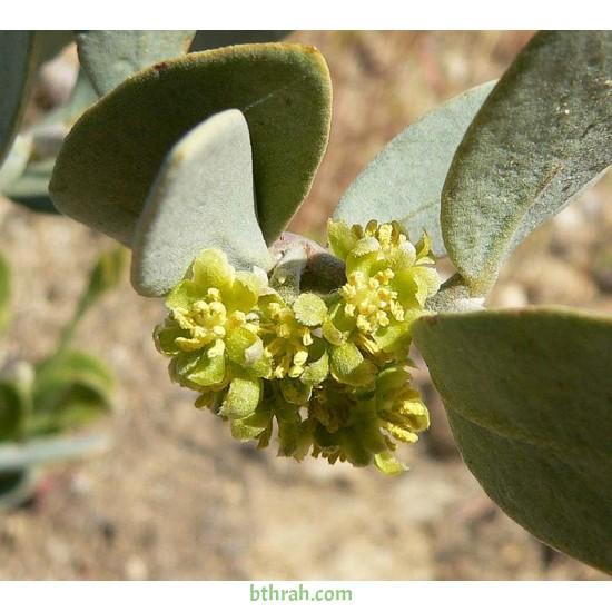 بذور الجوجوبا - Simmondsia chinensis