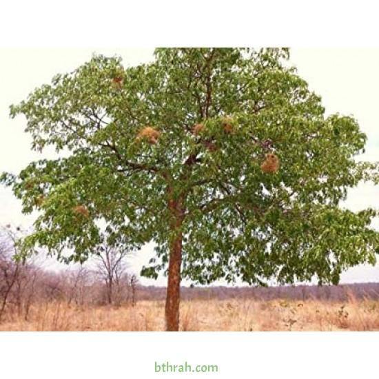 بذور شجرة الماهوجنى الافريقي  - Swietenia mahagoni
