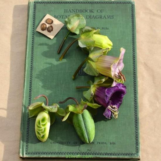 بذور الكوبية المتسلقة ( Cobaea scandens )
