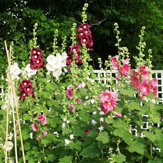 زهور الخطمية - Alcea rosea