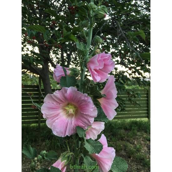 بذور زهور الخطمية - Alcea rosea