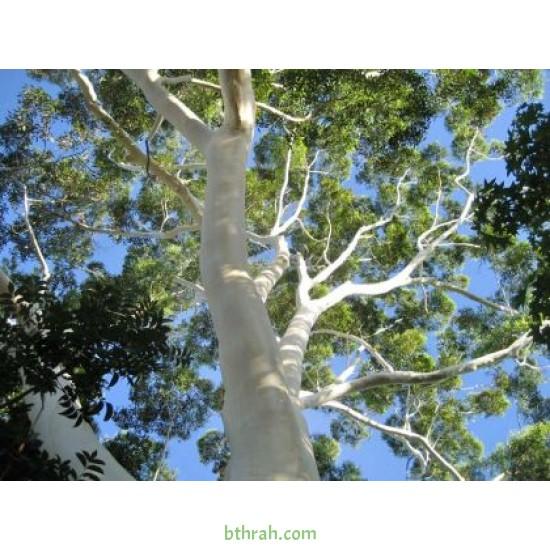 بذور الكين الليموني (Corymbia citriodora)