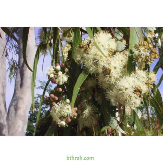 بذور الكين الليموني (Corymbia citriodora) - كافور ليموني