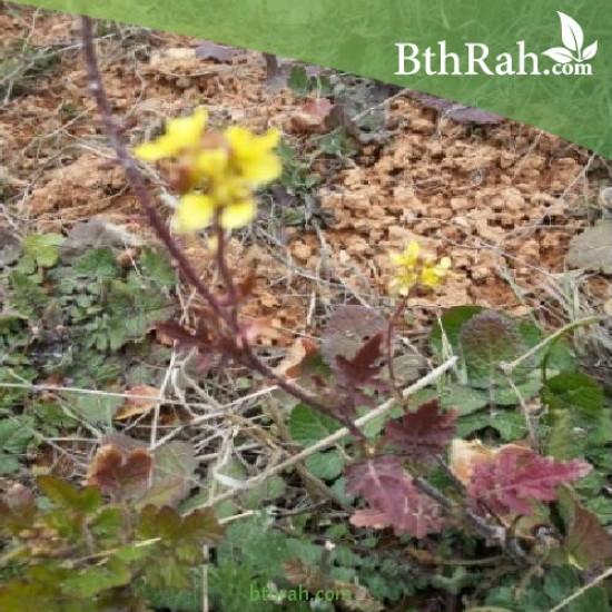بذور عشبة الحرشاء - Brassica tournefortii Gouan
