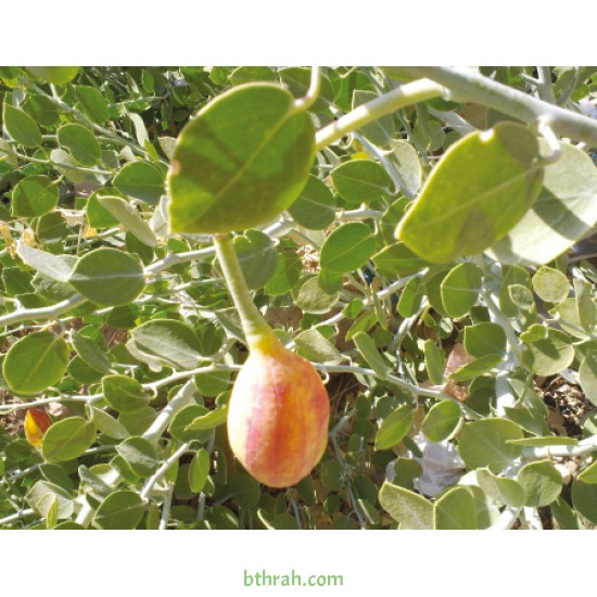 بذور عشبة الشفلّح - Capparis spinosa