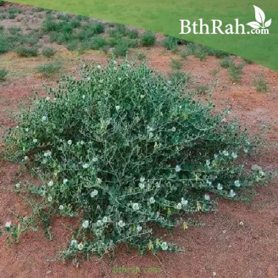 بذور عشبة الشفلّح - Capparis spinosa