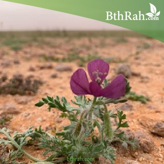 بذور البختري Roemeria hybrida