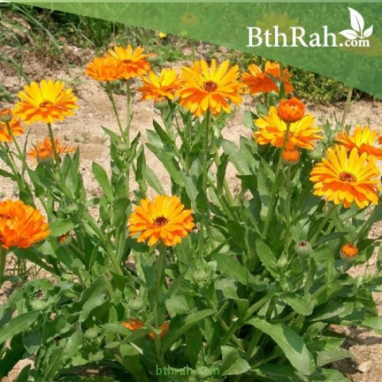 بذور زهور الكلانديولا ( Calendula officinalis )