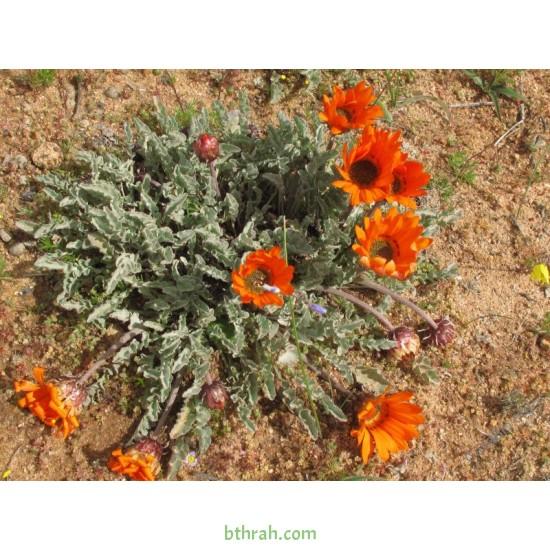 بذور زهرة ملكة الحقل (arctotis fastuosa)