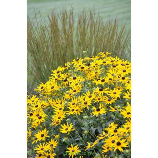 بذور زهرة الرودبيكا(rudbeckia)