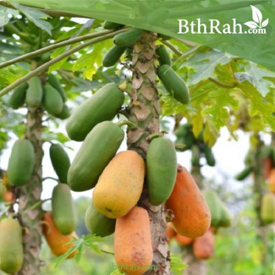 بذور البابايا التايلندية - Carica papaya