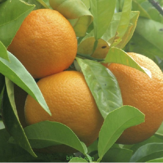 بذور شجرة النارنج - citrus aurantium