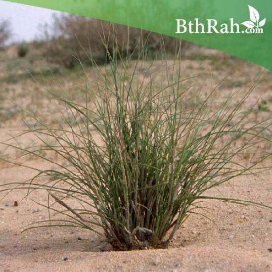 بذور عشبة النّصي - Stipagrostis