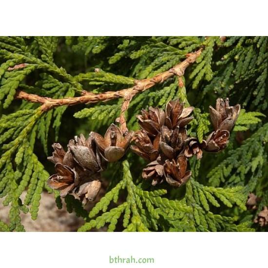 بذور نبات الثويا - Platycladus orientalis
