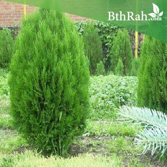 بذور نبات الثويا - Thuja Orientalis