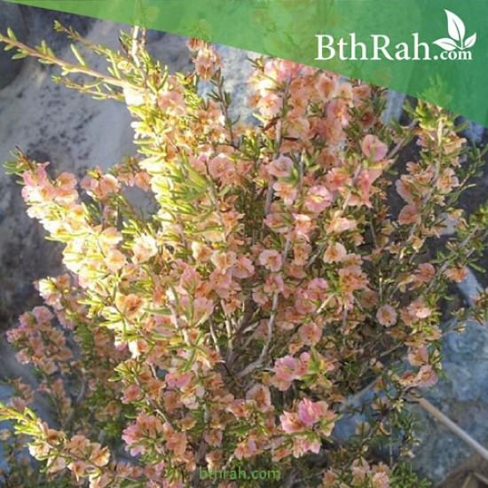 بذور شجرة السيداف - Pteropyrum scoparium