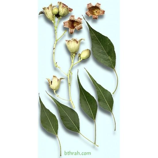بذور شجرة استركوليا مخمسة-Brachychiton populneus