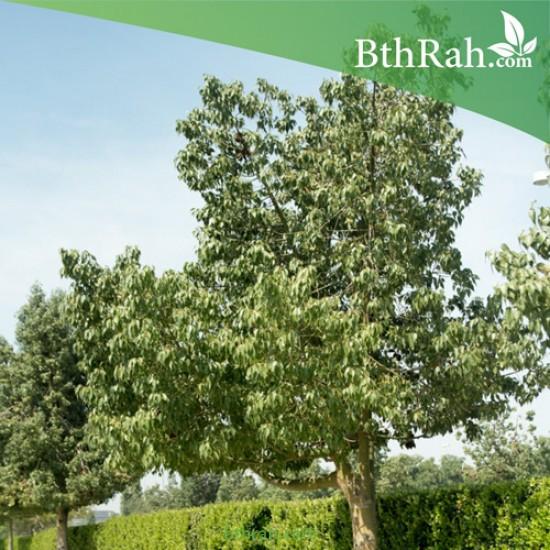 بذور شجرة استركوليا مخمسة - Brachychiton populneus