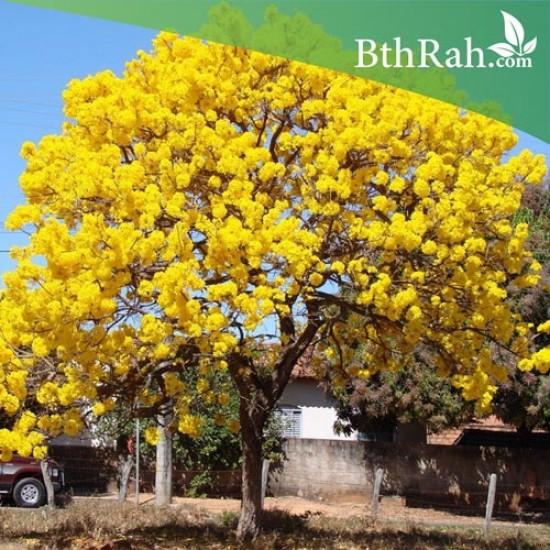 بذور شجرة التابوبيا الذهبية - Tabebuia aurea