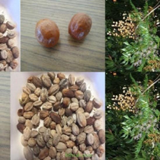 بذور شجرة الزنزلخت - Melia azedarach