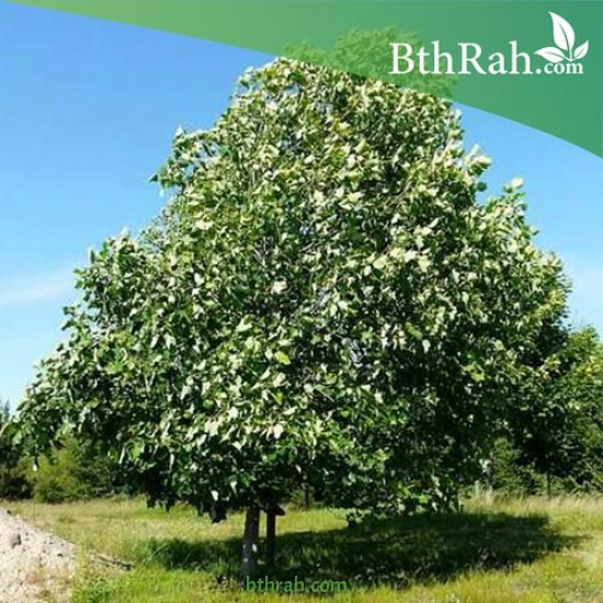 بذور شجرة توليب يفيرا - Liriodendron tulipifera
