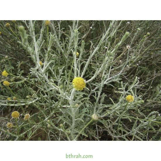 بذور الجثجاث - pulicaria undulata