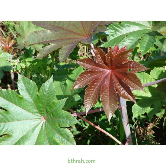 بذور شجرة الخروع - Ricinus communis