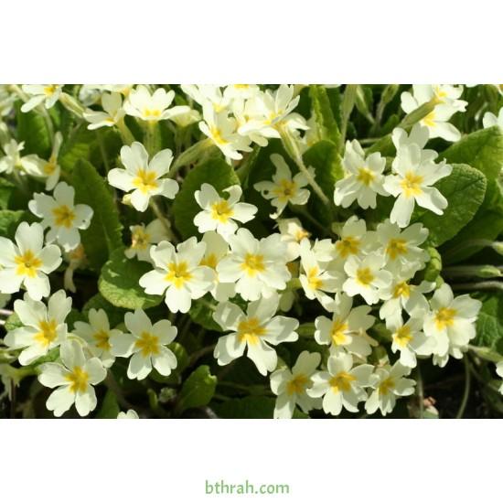 بذور زهور بريمولا - Primula acaulis