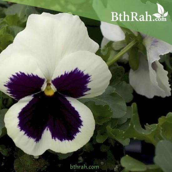 بذور زهرة بنفسج الثالوث أبيض