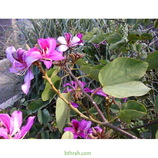 بذور شجرة البوهينيا Bauhinia variegata-خف الجمل