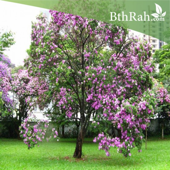 بذور شجرة البوهينيا Bauhinia variegata (خف الجمل)