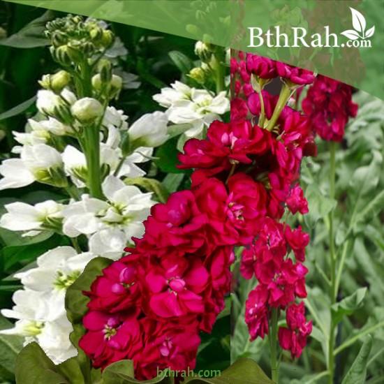 بذور زهور المنثور  Matthiola incana-mix