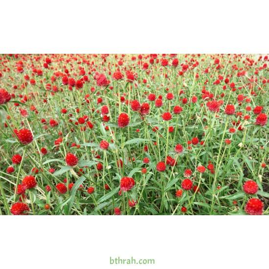 بذور نبات المدنة او الجمفرينا(الاحمر) Gomphrena globosa