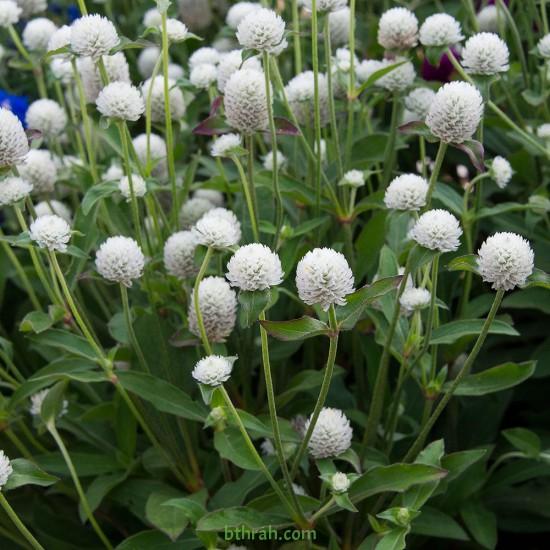بذور نبات المدنة او الجمفرينا (الابيض)  Gomphrena globosa