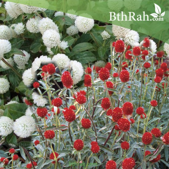 بذور نبات المدنة او الجمفرينا mix
