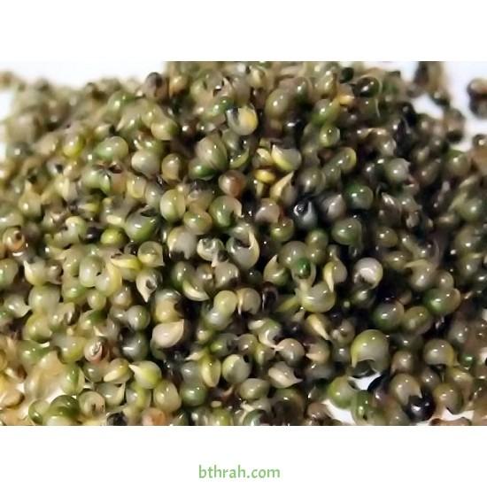 بذورنبات الكوشيا Kochia scoparia orBassia scoparia